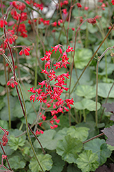 Firefly Coral Bells (Heuchera 'Firefly') at Creekside Home & Garden