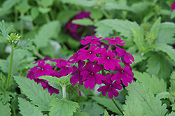 Superbena® Purple Verbena (Verbena 'Superbena Purple') at Creekside Home & Garden
