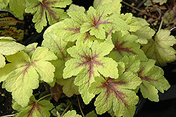 Golden Zebra Foamy Bells (Heucherella 'Golden Zebra') at Creekside Home & Garden