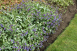 Trevi Fountain Lungwort (Pulmonaria 'Trevi Fountain') at Creekside Home & Garden