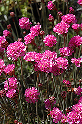 Red-leaved Sea Thrift (Armeria maritima 'Rubrifolia') at Creekside Home & Garden