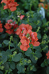 Flirtation® Orange Diascia (Diascia 'Flirtation Orange') at Creekside Home & Garden