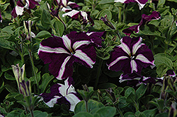 Ultra Blue Star Petunia (Petunia 'Ultra Blue Star') at Creekside Home & Garden