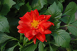 Figaro™ Red Dahlia (Dahlia 'Figaro Red') at Creekside Home & Garden