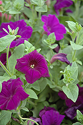 Supertunia® Royal Velvet® Petunia (Petunia 'Supertunia Royal Velvet') at Creekside Home & Garden