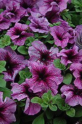 Sugar Daddy Petunia (Petunia 'Sugar Daddy') at Creekside Home & Garden