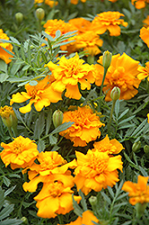 Little Hero Gold Marigold (Tagetes patula 'Little Hero Gold') at Creekside Home & Garden