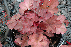 Cherry Cola Coral Bells (Heuchera 'Cherry Cola') at Creekside Home & Garden