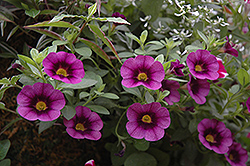 Superbells® Grape Punch Calibrachoa (Calibrachoa 'Superbells Grape Punch') at Creekside Home & Garden