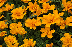 Safari Orange Marigold (Tagetes patula 'Safari Orange') at Creekside Home & Garden