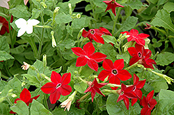 Saratoga Mix Flowering Tobacco (Nicotiana 'Saratoga Mix') at Creekside Home & Garden