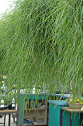 Green Twist Trailing Bamboo (Agrostis stolonifera 'Green Twist') at Creekside Home & Garden