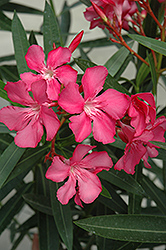Oleander (Nerium oleander) at Creekside Home & Garden