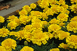 Janie Bright Yellow Marigold (Tagetes patula 'Janie Bright Yellow') at Creekside Home & Garden