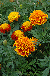 Janie Flame Marigold (Tagetes patula 'Janie Flame') at Creekside Home & Garden