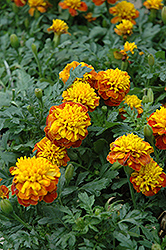 Janie Spry Marigold (Tagetes patula 'Janie Spry') at Creekside Home & Garden