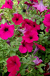 Wave Purple Classic Petunia (Petunia 'Wave Purple Classic') at Creekside Home & Garden