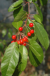 Pincherry (Prunus pennsylvanica) at Creekside Home & Garden