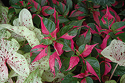 Party Time Alternanthera (Alternanthera ficoidea 'Party Time') at Creekside Home & Garden