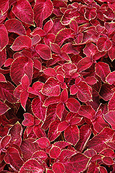 Wizard Velvet Red Coleus (Solenostemon scutellarioides 'Wizard Velvet Red') at Creekside Home & Garden