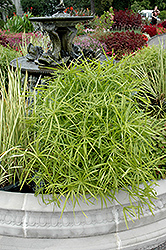 Umbrella Plant (Cyperus alternifolius) at Creekside Home & Garden
