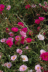 Happy Trails Fuchsia Portulaca (Portulaca grandiflora 'Happy Trails Fuchsia') at Creekside Home & Garden