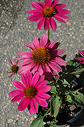 PowWow Wild Berry Coneflower (Echinacea purpurea 'PowWow Wild Berry') at Creekside Home & Garden
