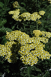 Sunny Seduction Yarrow (Achillea millefolium 'Sunny Seduction') at Creekside Home & Garden