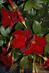 Sun Parasol® Giant Crimson Mandevilla (Mandevilla 'Sun Parasol Giant Crimson') at Creekside Home & Garden
