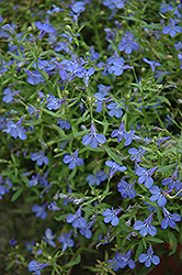 Techno® Heat Electric Blue Lobelia (Lobelia erinus 'Techno Heat Electric Blue') at Creekside Home & Garden