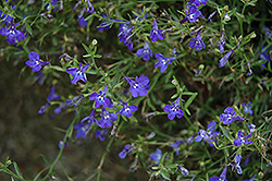 Techno® Heat Dark Blue Lobelia (Lobelia erinus 'Techno Heat Dark Blue') at Creekside Home & Garden