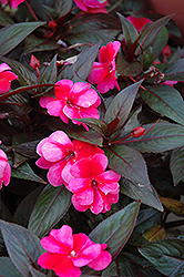 Celebration Rose Star New Guinea Impatiens (Impatiens hawkeri 'Celebration Rose Star') at Creekside Home & Garden