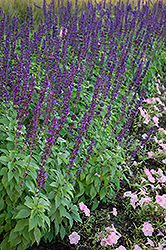 Mystic Spires Blue Sage (Salvia 'Balsalmisp') at Creekside Home & Garden
