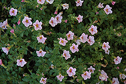 Superbells® Cherry Blossom Calibrachoa (Calibrachoa 'Superbells Cherry Blossom') at Creekside Home & Garden
