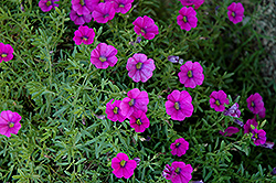 Superbells® Trailing Rose Calibrachoa (Calibrachoa 'Superbells Trailing Rose') at Creekside Home & Garden
