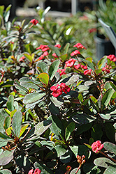 Crown Of Thorns (Euphorbia milii) at Creekside Home & Garden