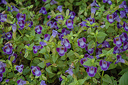 Wishbone Flower (Torenia fournieri) at Creekside Home & Garden