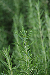 Gorizia Rosemary (Rosmarinus officinalis 'Gorizia') at Creekside Home & Garden
