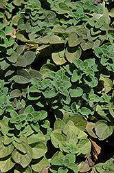 Hot And Spicy Oregano (Origanum 'Hot And Spicy') at Creekside Home & Garden