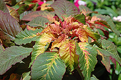 Illumination Amaranthus (Amaranthus 'Illumination') at Creekside Home & Garden