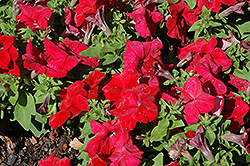 Limbo GP Red Petunia (Petunia 'Limbo GP Red') at Creekside Home & Garden