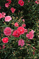 Ideal Select Salmon Pinks (Dianthus 'Ideal Select Salmon') at Creekside Home & Garden