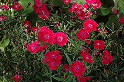 Ideal Select Red Pinks (Dianthus 'Ideal Select Red') at Creekside Home & Garden