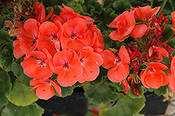 Rocky Mountain Salmon Geranium (Pelargonium 'Rocky Mountain Salmon') at Creekside Home & Garden
