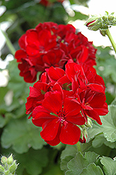 Calliope® Burgundy Geranium (Pelargonium 'Calliope Burgundy') at Creekside Home & Garden