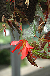 Million Kisses Amour Begonia (Begonia 'Million Kisses Amour') at Creekside Home & Garden