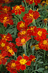 Safari Red Marigold (Tagetes patula 'Safari Red') at Creekside Home & Garden