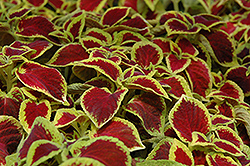 Wizard Scarlet Coleus (Solenostemon scutellarioides 'Wizard Scarlet') at Creekside Home & Garden
