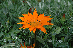 New Day Clear Orange Gazania (Gazania 'New Day Clear Orange') at Creekside Home & Garden