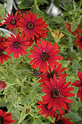 Zion Red African Daisy (Osteospermum 'Zion Red') at Creekside Home & Garden